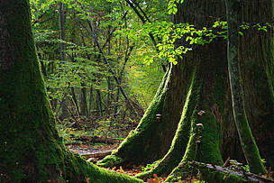 Virgin forest Poland