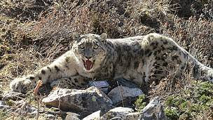 Snow leopard successfully collared in Nepal's Himalayas