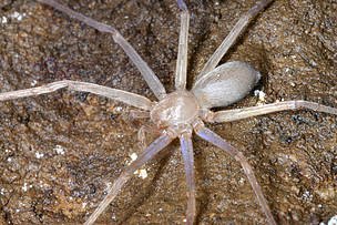 The first eyeless huntsman spider in the world has been discovered in Laos by arachnologist Dr Peter Jäger of the Senckenberg Research Institute in Frankfurt, Germany.