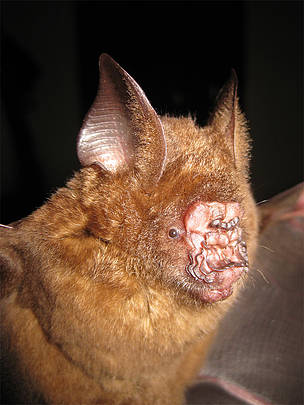 Hipposideros griffini, discovered in 2012 in Vietnam, has a very peculiar nose that may assist in echolocation, the sonar-like ability used by bats to help them navigate.