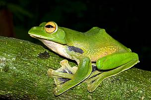 "Helen's Flying Frog, Rhacophorus helenae, a huge, green, ""flying"" frog was discovered less than 100km from Ho Chi Minh City, an urban centre with over 9 million people. Helen's Flying Frog can grow to almost 10cm in length and belongs to the group of frogs that have the greatest ability to glide."