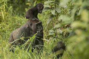 Happy 2nd birthday to Inguka and Inganda, CAR's adorable gorilla twins