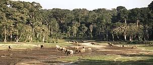 Herd of African forest elephants eating mineral-rich mud in the Dzanga-Sangha Special Reserve, ...  © WWF / Meg GAWLER
