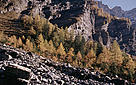 Larch trees (Larix europaea) forest in the Swiss Alps. Protected landscape in the Vallon de Nant, Vaud, Switzerland