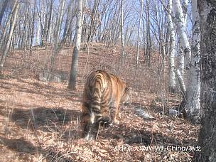 Prey for China's endangered wild Amur tigers released on Global Tiger Day