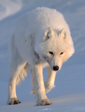 Arctic wolf (Canis lupus arctos)  © Staffan Widstrand