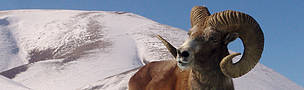 Argali, or the mountain sheep (species Ovis ammon)