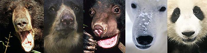 Montagem mostrando 5 espécies diferentes de ursos para ilustrar a diversidade da vida (biodiversidade)