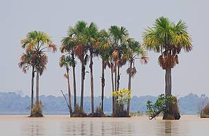 Palms in Lake Rogaguado, Beni, Bolivia.