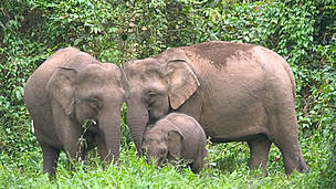 Bornean Pygmy elephant (Elephas maximus borneensis) family, parents with calf. Danum Valley ...  © WWF / A. Christy WILLIAMS