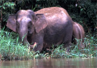 WWF - New elephant subspecies discovered
