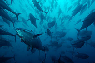Future remains uncertain for bluefin tuna and fishery observers in the Eastern Pacific