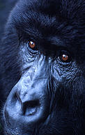 Gorilla gorilla beringei Mountain gorilla Portrait of an adult female Virunga National Park, Democratic Republic of Congo