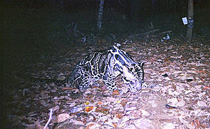 Clouded leopard  © WWF / Indonesian Forest Protection and Nature Conservation / Virginia Tech