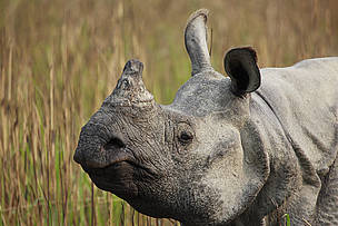 The greater one-horned rhino (Rhinoceros unicornis) is conservation success story. With WWF's help the species has been brought back from extinction; however the species still faces the ever-present threat of poaching for its horn.