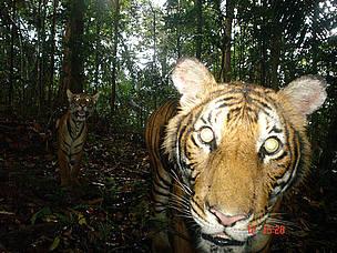 馬來西亞的老虎面臨棲地消失的處境。圖片來源© WWF/Christopher Wong
