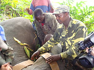 Radio and satellite telemetry have been an integral part of many research and management projects of African elephants. WWF CFP staff put hands together to fasten satellite collar around neck of tranquilised elephant.