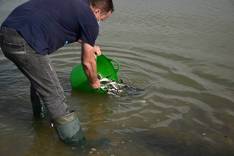 700 Russian Sturgeons Successfully Released into the Danube