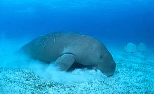 A dugong grazing on sea grass. Indo-Pacific Ocean.