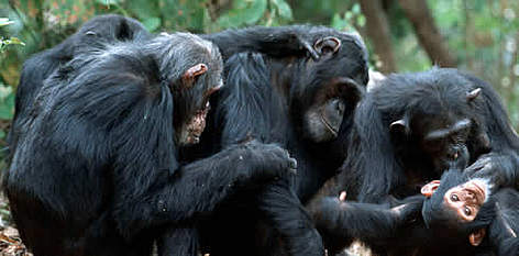 WWF - Chimpanzees