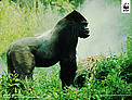Eastern Lowland Gorilla Wallpaper for PC