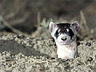 Black-footed ferret poking out of its den.
