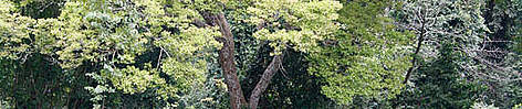A tree in Kakum National Park tropical rainforest, situated about 60 km from the coast of western ... rel=
