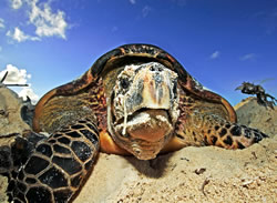Hawksbill turtle (<i>Eretmochelys imbricata</i>). The metabolism, life cycle, and ...  © WWF / Martin HARVEY