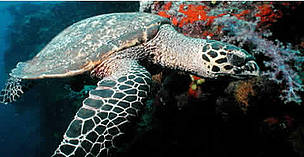 Hawksbill turtles live on coral reefs where their favourite food, sponges, are most plentiful. Fiji.  © WWF / Cat HOLLOWAY