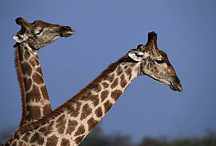 Giraffes are also found throughout the Miombo Woodlands region.