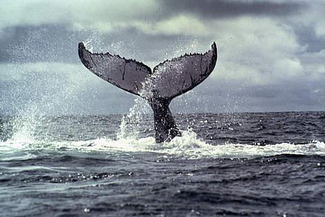 Humpback Whale Wwf