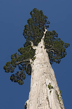 Alerce tree, the largest tree species in South America. Alerce Andino National Park, Chile.