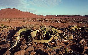 The Namib Desert's Welwitschia mirabilis plant can live for over 1,000 years.