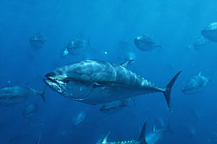Fisheries Commission challenged to save Pacific albacore and bluefin tuna from economic extinction