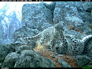 Snow Leopard cubs a sign of hope for species on the brink