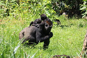 First twins born to habituated gorillas in Dzanga Sangha are one year old