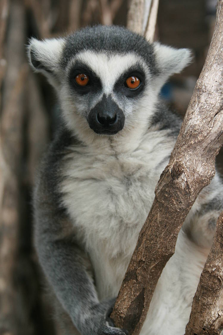The journey of the lemurs through the forests of Madagascar