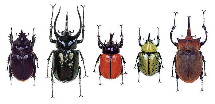Várias espécies de besouros