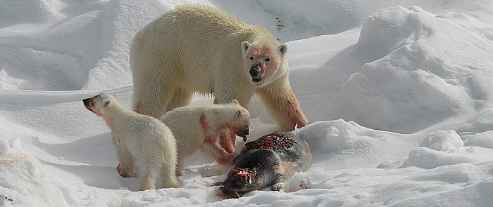 Diet - what do polar bears eat? A Polar Bear and its 2 cubs feeding on a