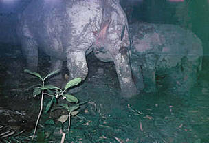 Javan rhinos now safer under closer scrutiny