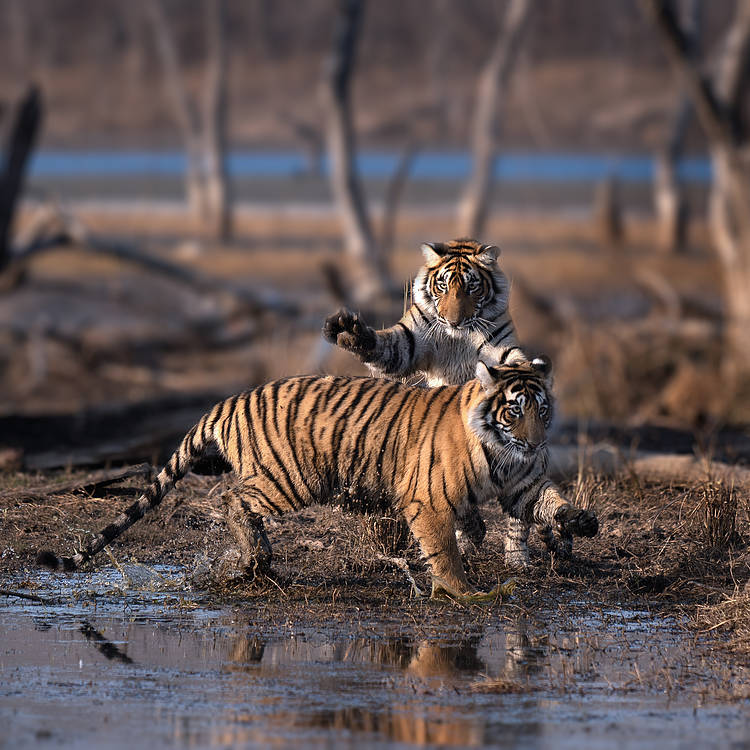 Global Tiger Day marks mixed progress 10 years after governments commit to doubling wild tigers