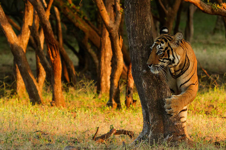 India to apply CA|TS standards across all Tiger Reserves giving boost to conservation efforts