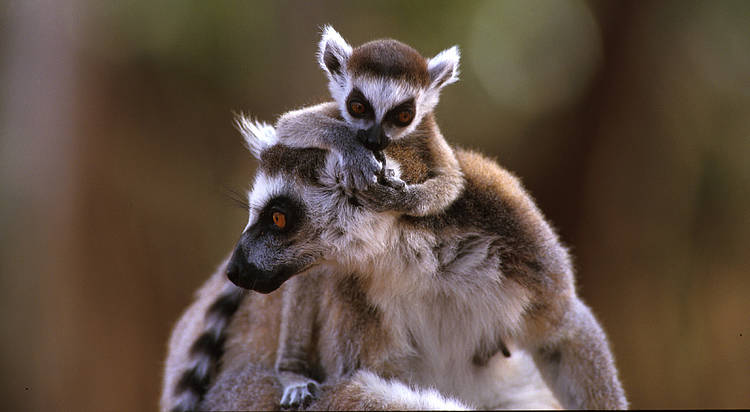 5 facts about lemurs, jewels of Madagascar's biodiversity