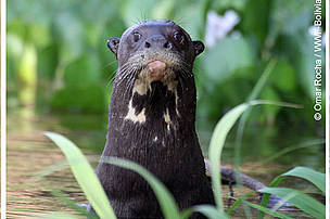 Londra or Giant Otter