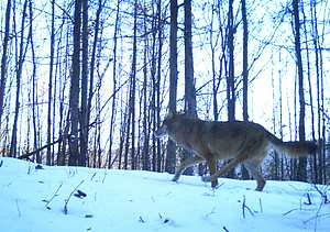 Vlk Trojnožka na zábere z fotopasce. Typ zranenia naznačujú, že mohol prežiť zrážku s autom.