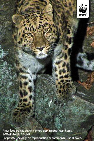 Amur Leopard Wwf