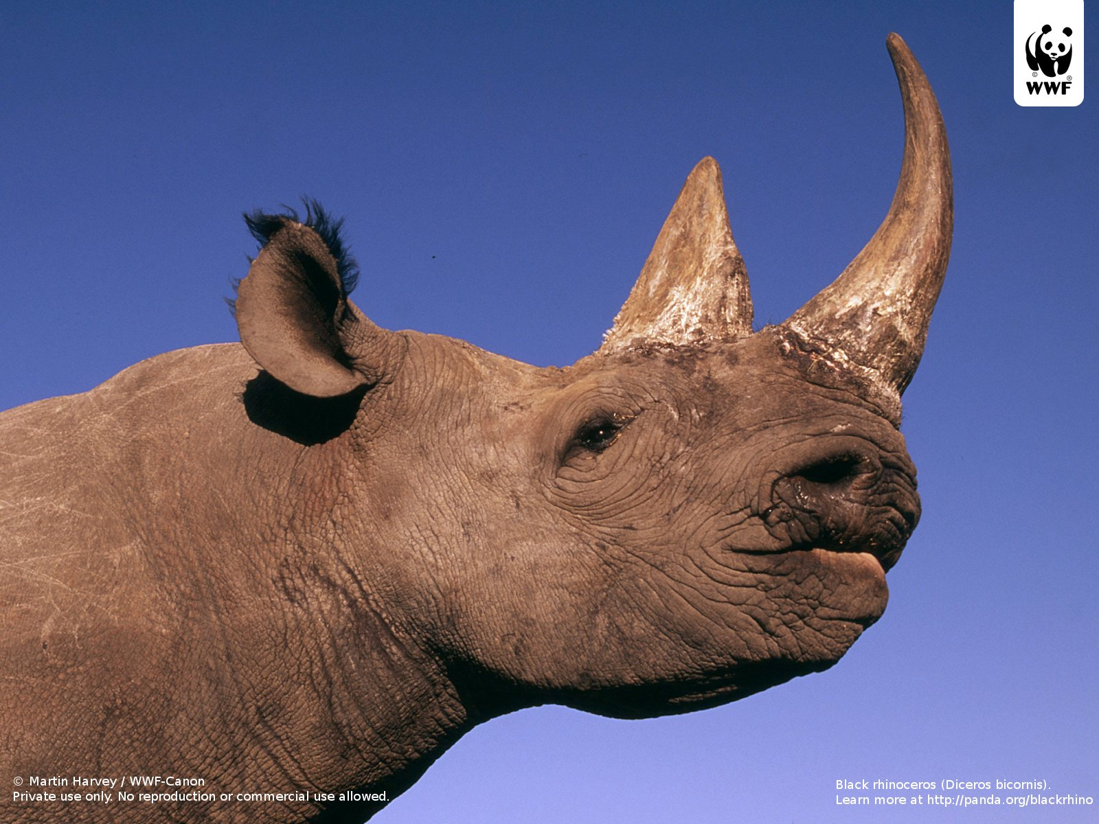 Rhinoceros  Wikipedia
