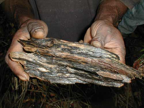 Agarwood, also known as gaharu and eaglewood. (c) WWF - Paul Chatterton