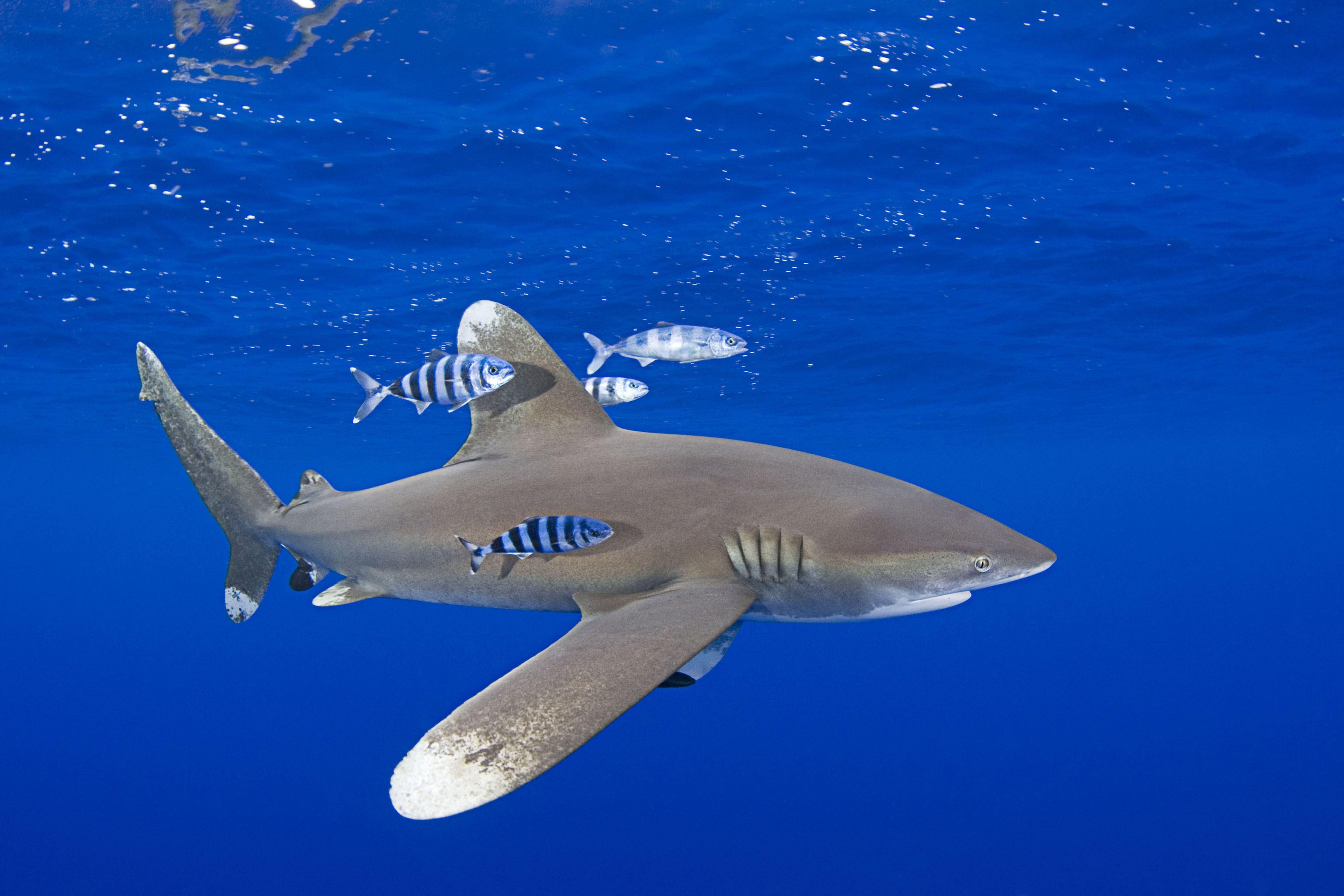 The oceanic whitetip shark (Carcharhinus longimanus) is a pelagic shark and can be found in tropical and warm waters around the world. The oceanic whitetip shark is often accompanied by pilot fish (Naucrates ductor) who feed on the shark's leftovers. WWF lists pelagic sharks as a priority species. Kona Coast, Hawaii, Central Pacific Ocean