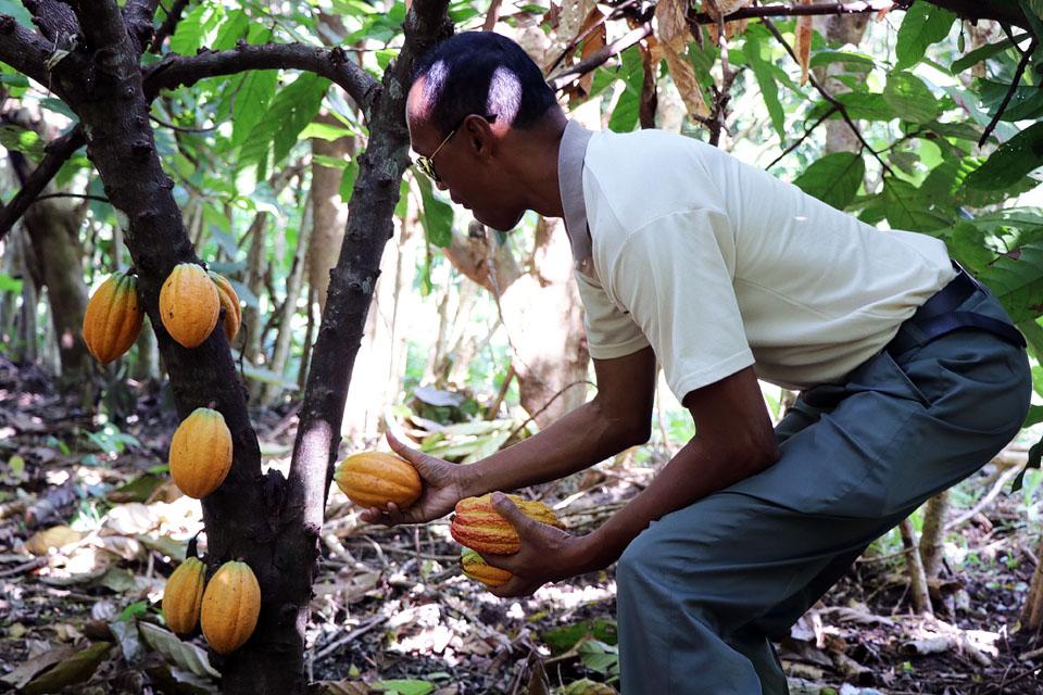 Des champs de cacao en alternatives durables à l'exploitation de la forêt  humide | WWF